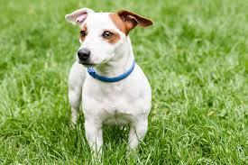 Flea Collar Allergies in Dogs - Symptoms, Causes, Diagnosis ...