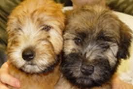 wheaten terrier puppies in