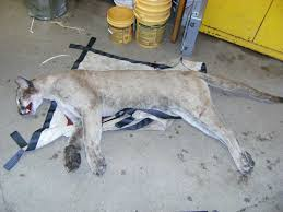 necropsy to be done on mountain lion killed in milford necropsy to be done on mountain lion killed in milford connecticut post