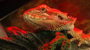 g the bearded dragon basking under his heat lamp hd