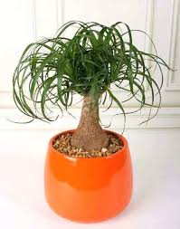 fresh the best indoor plants for low light or ponytail palm 91 indoor office plants no