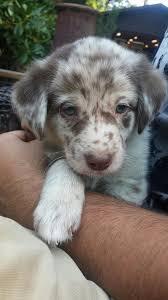 aussiedor puppy pictures