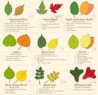 Tree Leaf Identification Chart Infographic Mjjsales Com