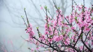 Image result for hoa đào ngày tết