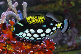 clown triggerfish.  Triggerfish Clown Triggerfish For G