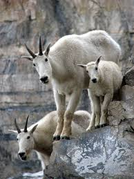 Image result for mountain goat image