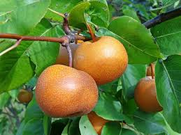 Amazoncom  Meyer Lemon Tree  Fruiting SizeBranched Plant  8 How Often Should I Water My Fruit Trees