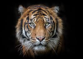Aceh   Tiger portrait, Pet tiger, Tiger ...