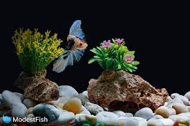 a betta fish siamese fish swimming in a fish tank decorated with pebbles and trees