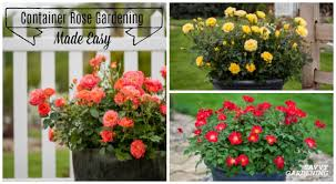 learn to grow roses in pots