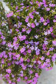 Small Picture Garden Design Garden Design with Cuphea hyssopifolia False