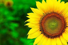 HD wallpaper of sunflower, wallpaper of ...