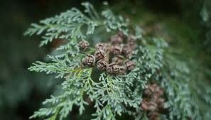 How to Prune Leyland Cypress for Christmas Trees | Garden Guides