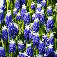 grape hyacinth bulbs. Wonderful Bulbs Grape Hyacinth Touch Of Snow With Bulbs T
