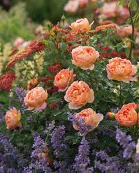 Small Picture Perennial Combinations Rose Combinations Summer Borders
