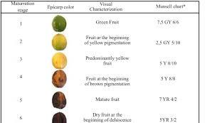 Color Of Physic Nut Fruits Jatropha Curcas L At Different