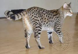savannah cat chart savannah cat f1 f2 f3 explained and why you should know