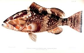 Grouper Species Chart Red Grouper Wikipedia