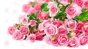 Roses Flowers Wallpapers Pink Rose Pictures Download Free Pixelstalk Net