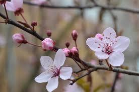 Bunga Sakura Jadwal Dan Tempat Lihat Bunga Sakura Di Jepaang 2019