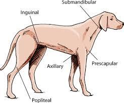 Dog Lymph Node Location Chart Location Of Lymph Nodes In Dogs Goldenacresdogs Com