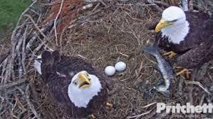 florida eagle cam. Fine Eagle Southwest Florida Eagle Cam Soars Into 7th Season On E