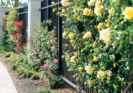Climbing Plants For Fence