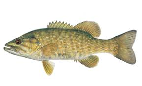 Types Of Bass Fish Chart Fish Identification