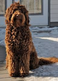 Small Picture Best 20 Labradoodles ideas on Pinterest Labradoodle puppies