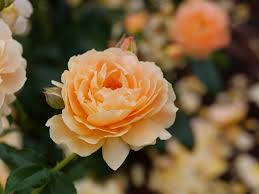 There are more than a hundred species of wild roses, which are endemic (native) only to the northern hemisphere. At Last Rose Rosa X Proven Winners