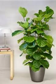 office indoor plants. Houston\u0027s Online Indoor Plant \u0026 Pot Store - Easy Office Floor Plants. For Plants