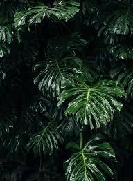 monstera leaf iphone wallpaper ...
