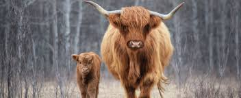 Willow Glen Farm Highland Cattle Grassfed Beef News