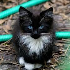 fluffy black kittens with blue eyes. Wonderful Fluffy Long Haired Black Kitten With Gorgeous Blue Eyes In Fluffy Black Kittens With Blue Eyes E
