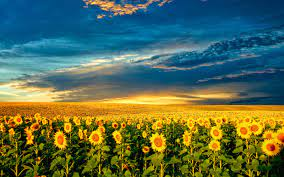 Beautiful Sunflower Field HD Wallpaper