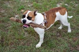 american bulldog pitbull boxer mix. Modren American 6095153564_aa725f14ae_b For American Bulldog Pitbull Boxer Mix