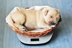 Cavachon Puppy Weight Chart Printable Puppy Weight Charts Lovetoknow