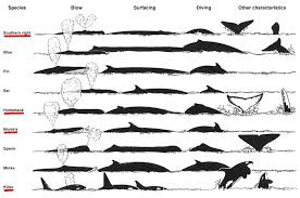 Whale Chart Species Common Whale And Dolphin Types In Algoa Bay Ab Marine