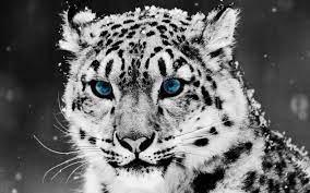 Ultra HD 4K Snow leopard Wallpapers HD ...