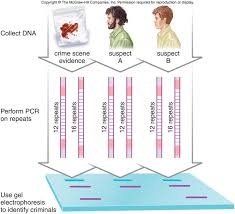 Dna Fingerprinting Lab Answers