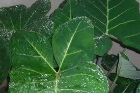 Start Cocoyam farming