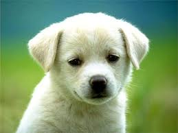 cute dogs and puppies. Delighful And Labrador Retriever Puppy And Cute Dogs Puppies B