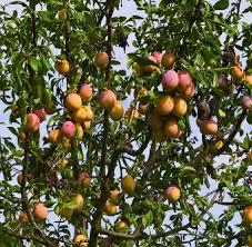 Popular Plum Tree Varieties In The UKPlum Fruit Tree Varieties