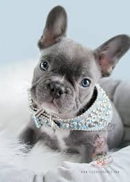 teacup blue french bulldog puppies. Delighful Bulldog Male Blue Frenchie By Teacups Puppies And Teacup French Bulldog D