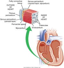 pericardial sac layers of the heart muscle and pericardium the section of the heart
