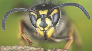 Bee And Wasp Identification Chart Uk Scientists Why We Should Appreciate Wasps Bbc News