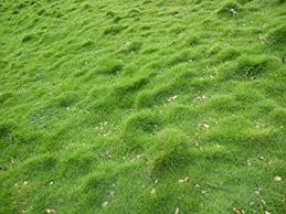 carpet grass. syed carpet grass seed (1000 pack) amazon.in