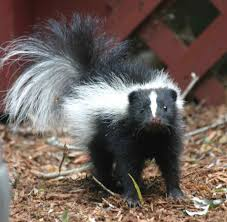 Small Picture Spotted Skunk Pet Free Here