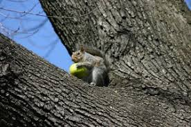 How To Keep Squirrels Out Of Fruit Trees  How To Stop SquirrelsHow To Protect Your Fruit Trees From Squirrels