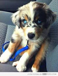 cute puppies with blue eyes. Interesting Eyes Eyes  Cute Puppy With Beautiful Blue Eyes Inside Puppies With Blue Pinterest